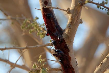 The Acacia Tree, The Sacred Vine & The Midianites