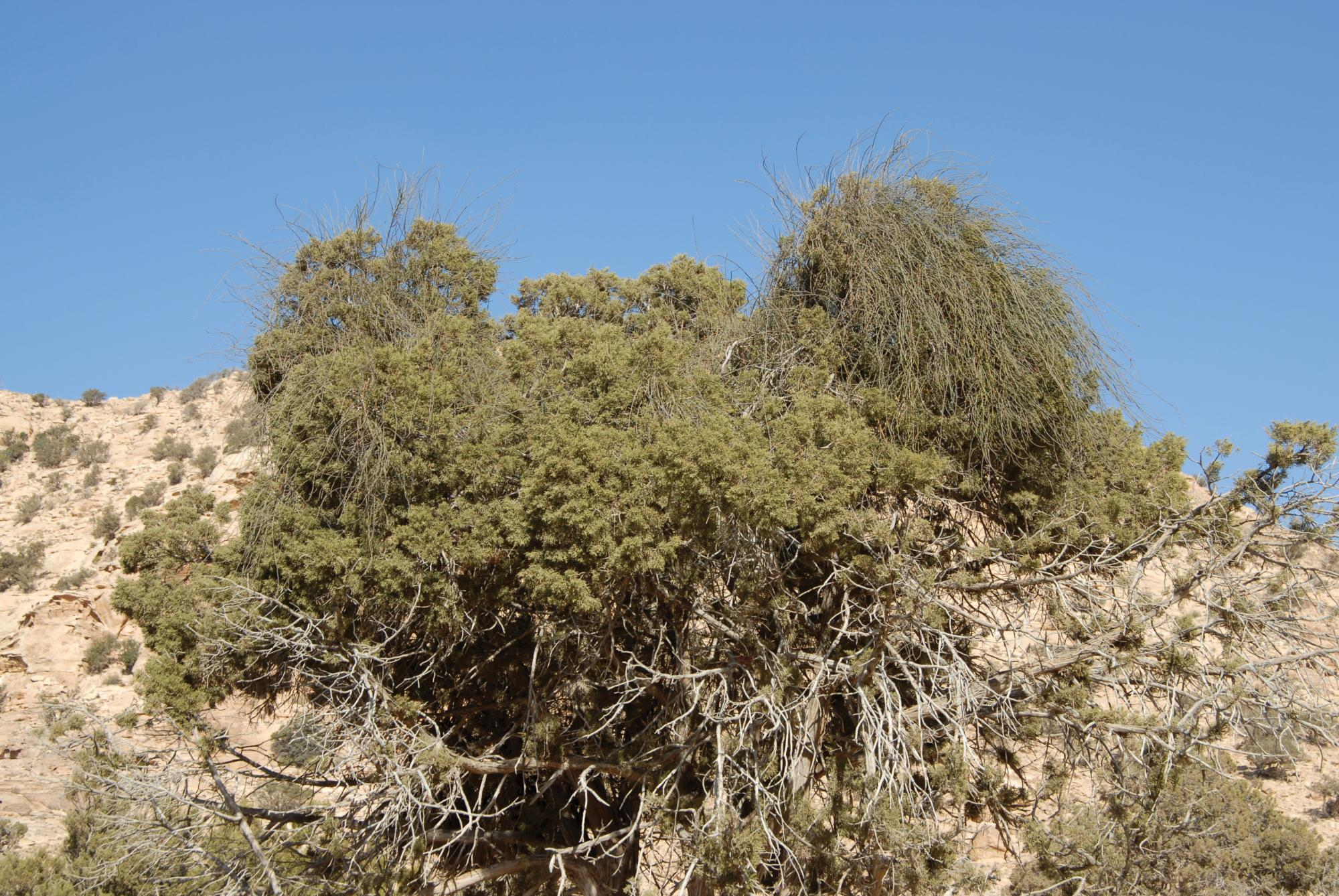 Shamanic/Spirit Desert Plants