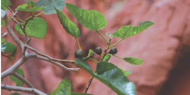 Shamanic/Spirit Desert Plants